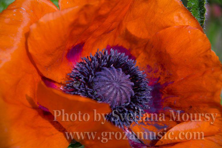 Wonderful poppy close-ups-2017. Shot by Svetlana Moursy.